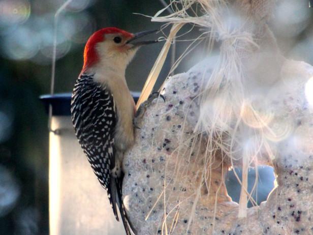 Corona para aves 1