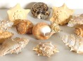 imagen Cómo limpiar conchas marinas para usos decorativos