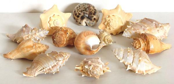 Limpiar conchas marinas