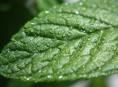 imagen Algunos usos del aceite esencial de menta